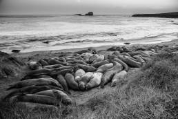Seeelefanten, Nähe L.A. - seen by streb